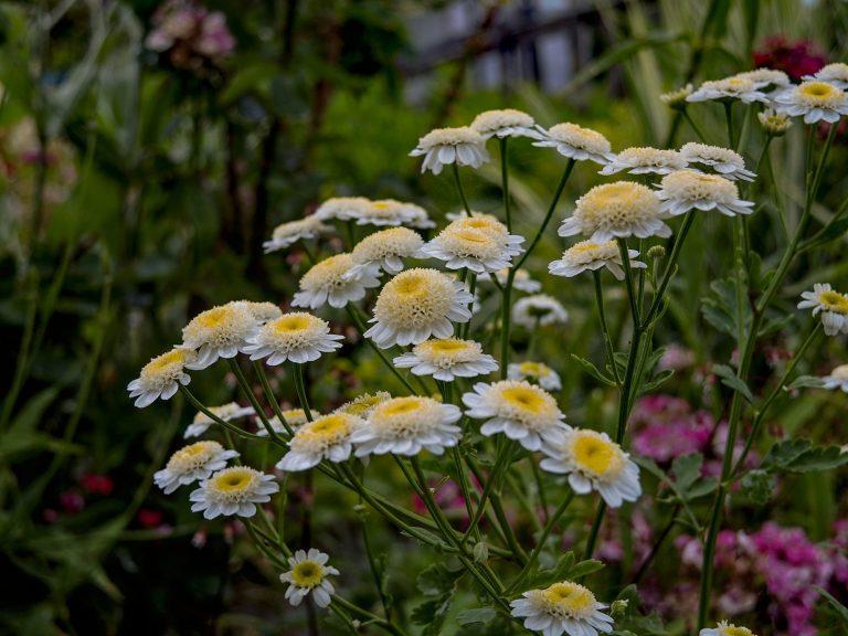 Chrysanthemen-1